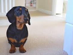 Getting to Know Your Dachshund Dog