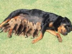 How to Prepare Your Pregnant Dog and Yourself for the Birth of Puppies