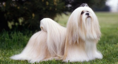 Everything You Need to Know About Lhasa Apso Dogs